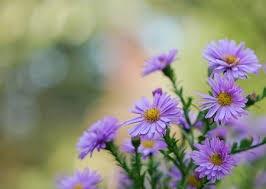 紫のアスター