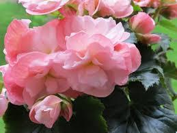 ピンクのベコニア