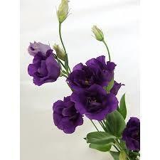 濃い紫のトルコギキョウ