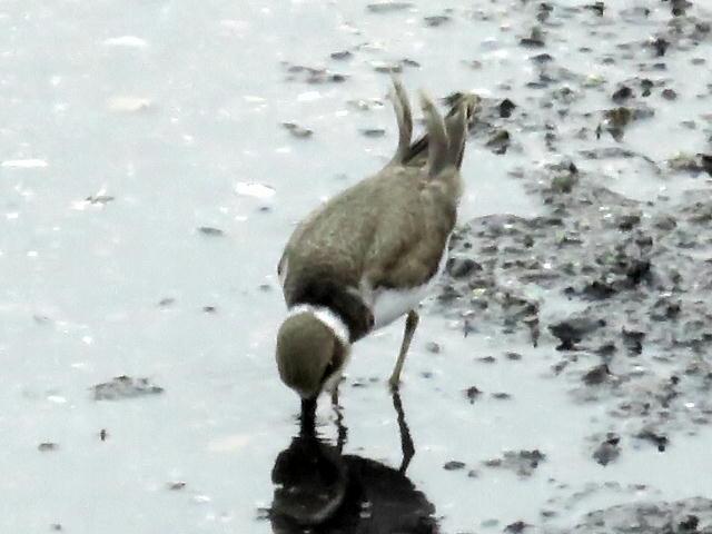 コチドリ幼鳥01 (1)