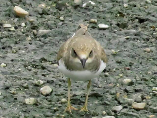 コチドリ幼鳥01 (3)