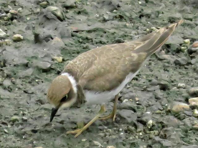 コチドリ幼鳥01 (4)