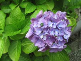 神戸北野の紫陽花
