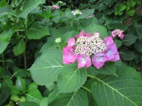 神戸北野異人館街の紫陽花
