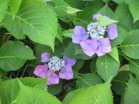 神戸北野 異人館 萌黄の館の紫陽花