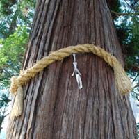 水無神社の大杉
