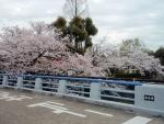服部霊園桜 (1)