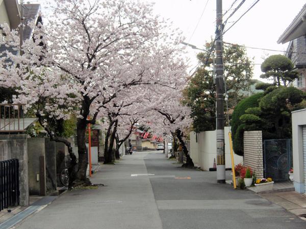 緑丘 桜 2