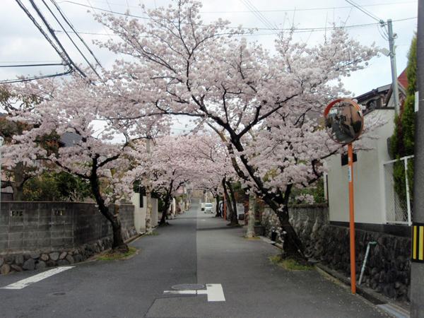 緑丘 桜 1