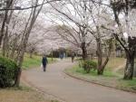 千里中央公園 桜 (1)