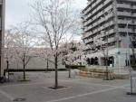新千里西町 桜 (4)