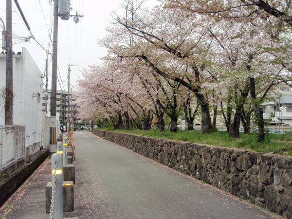 利倉西遊歩道 桜 (2)