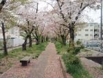 利倉西遊歩道 桜 (1)