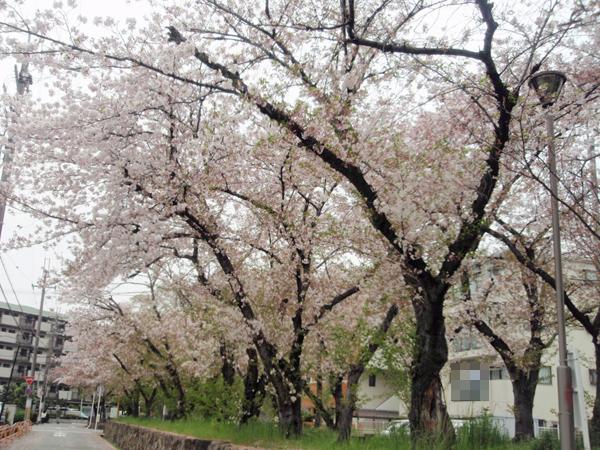 利倉西遊歩道 桜 (3)