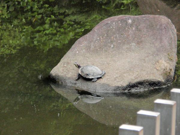赤坂上池公園 菖蒲園 (3)