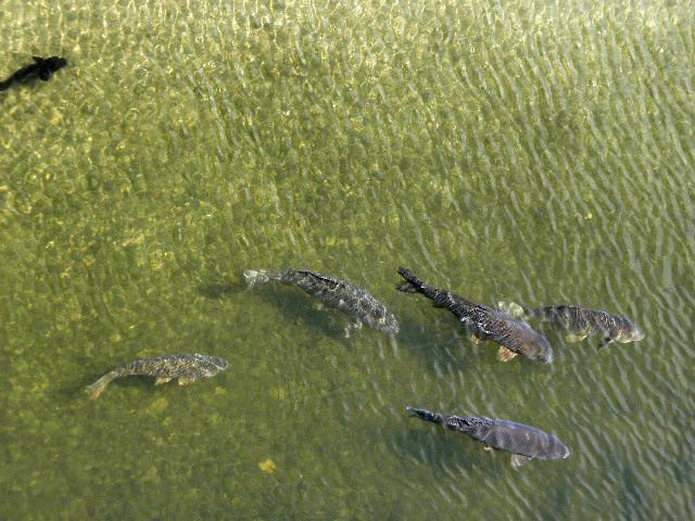 千里川100匹の鯉 (2)