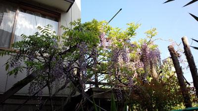 実家の藤の花