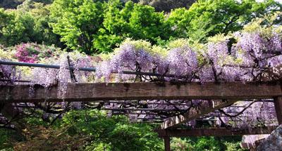 吉香公園の藤棚