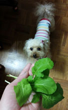 サラダに収穫