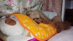 龍之介Jr.の上に寝始めました
