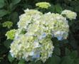 528の紫陽花a
