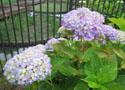 528の紫陽花b