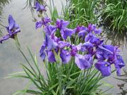 菖蒲の咲き具合