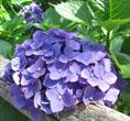 紫陽花 濃い紫a