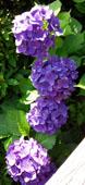 紫陽花 濃い紫b