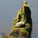 甲羅干しの木