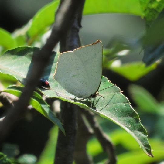 チョウ目 シジミチョウ科 ウラギンシジミ亜科ウラギンシジミ