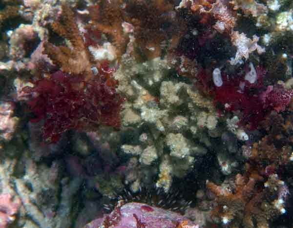 枯死サンゴ