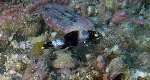 トカラベラ幼魚