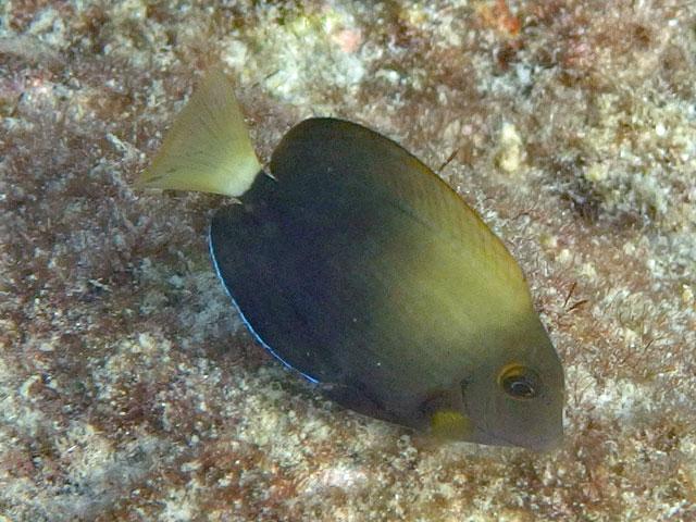 ニザダイ科の魚