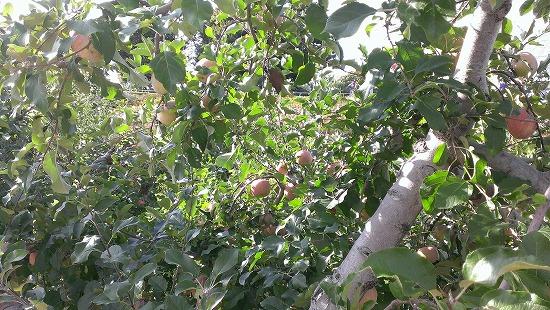 果樹園 りんご