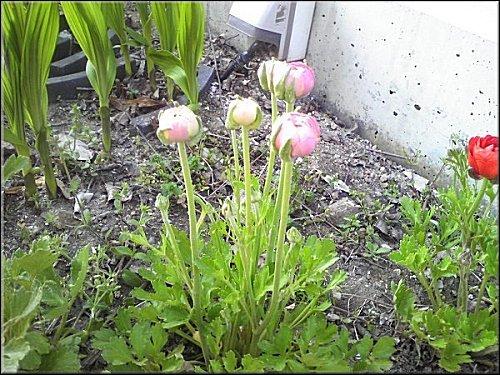 育った球根の花