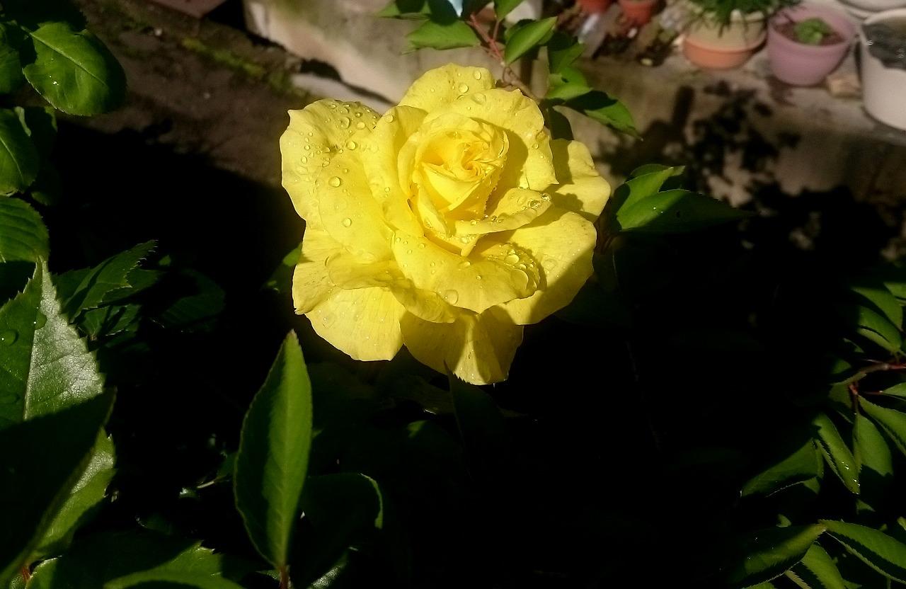 20160512-Rose_Yellow-X01.jpg