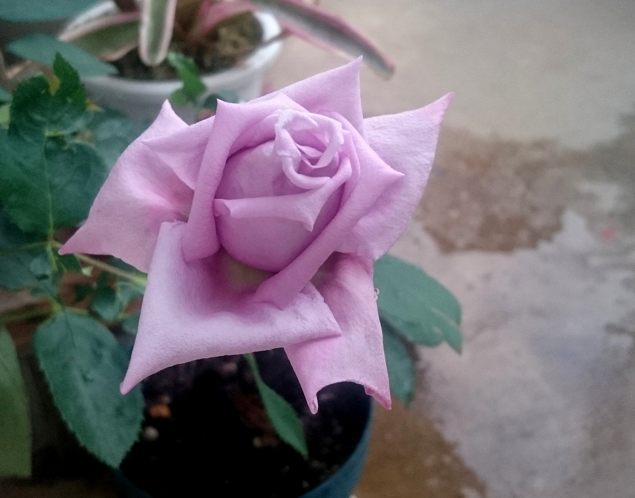 20160515-Rose_Blue-X02.jpg