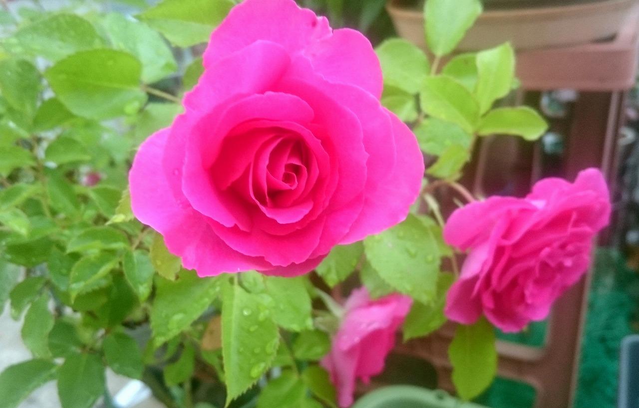 20160515-Rose_Pink-X01.jpg