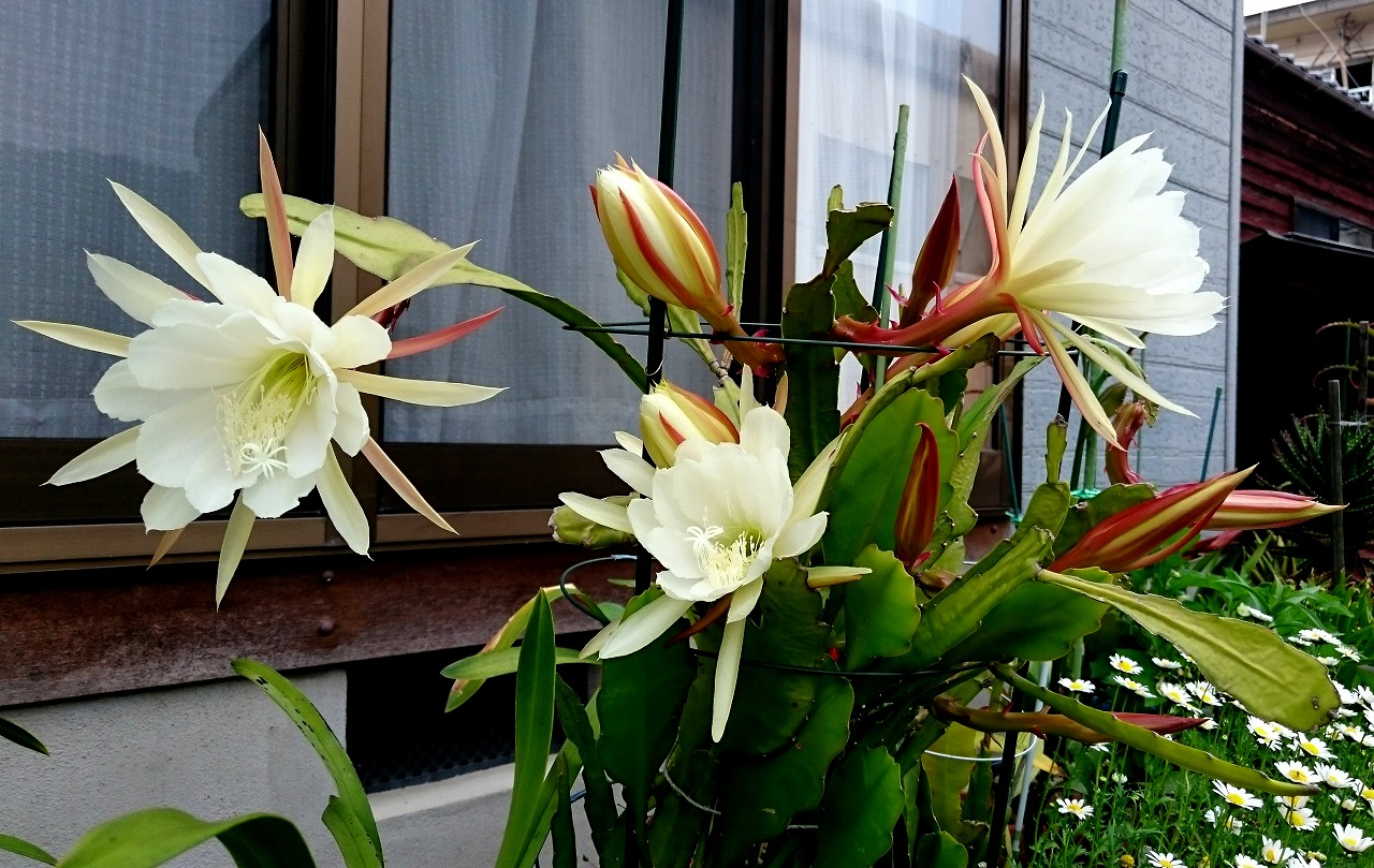20160528-Epiphyllum-X01.jpg