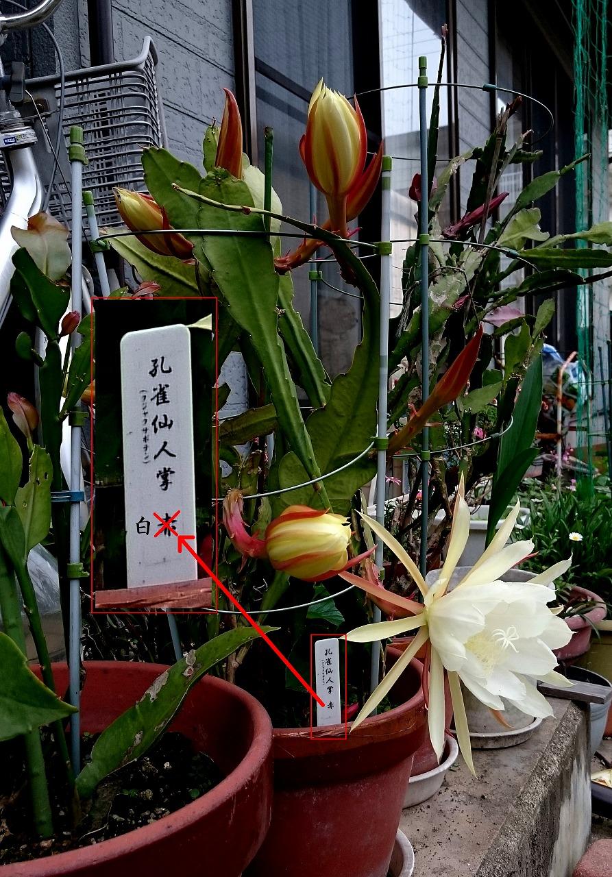 20160528-Epiphyllum-X02-02.jpg