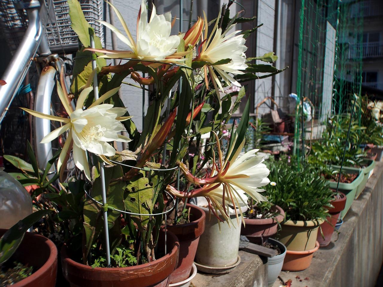 20160529-Epiphyllum-O01.jpg