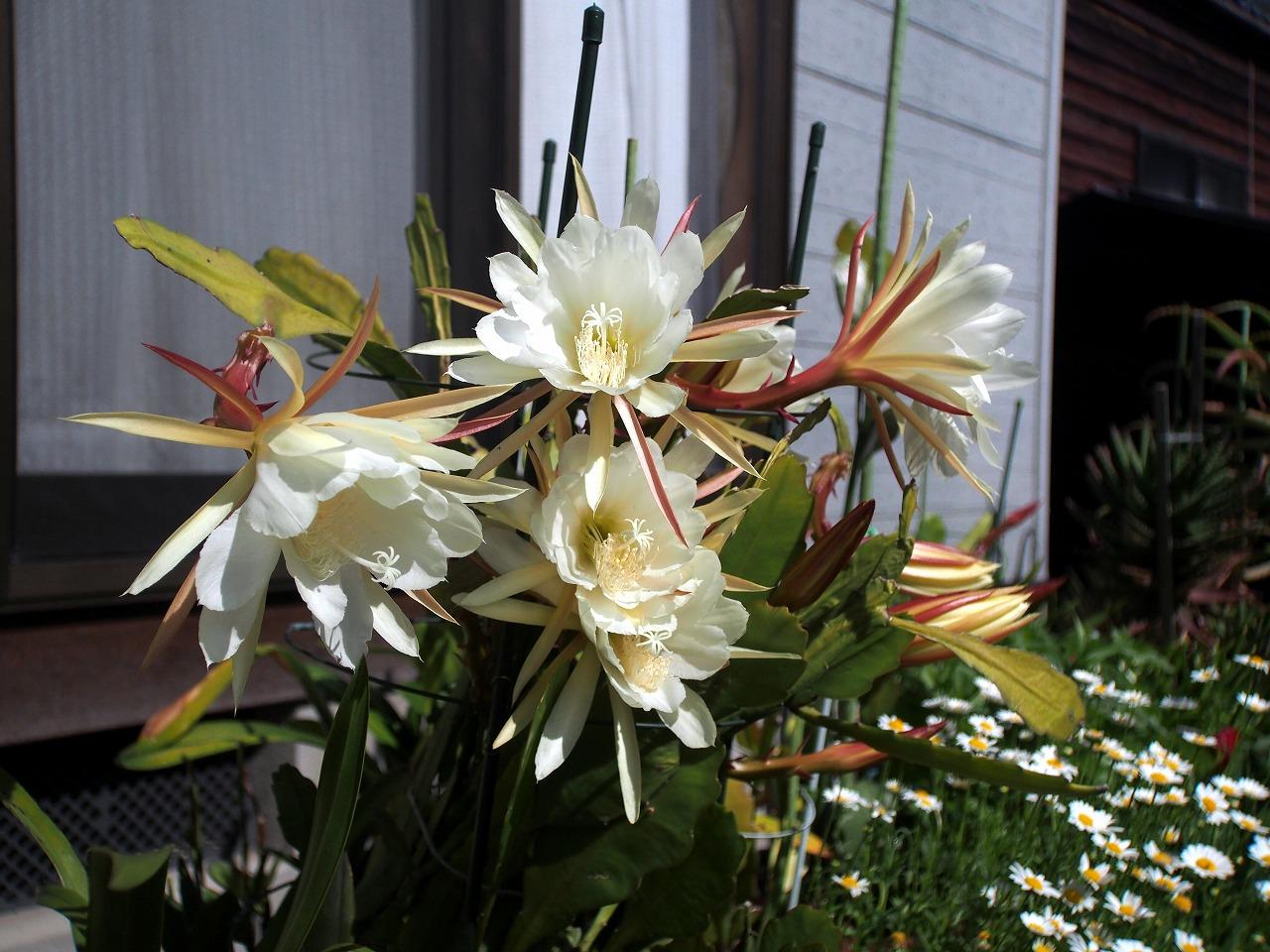 20160529-Epiphyllum-O02.jpg