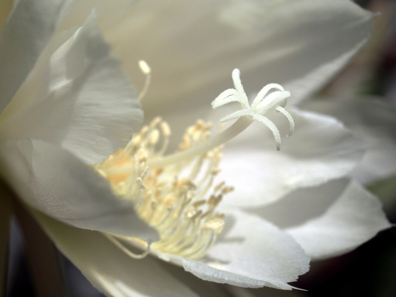 20160529-Epiphyllum-O03.jpg