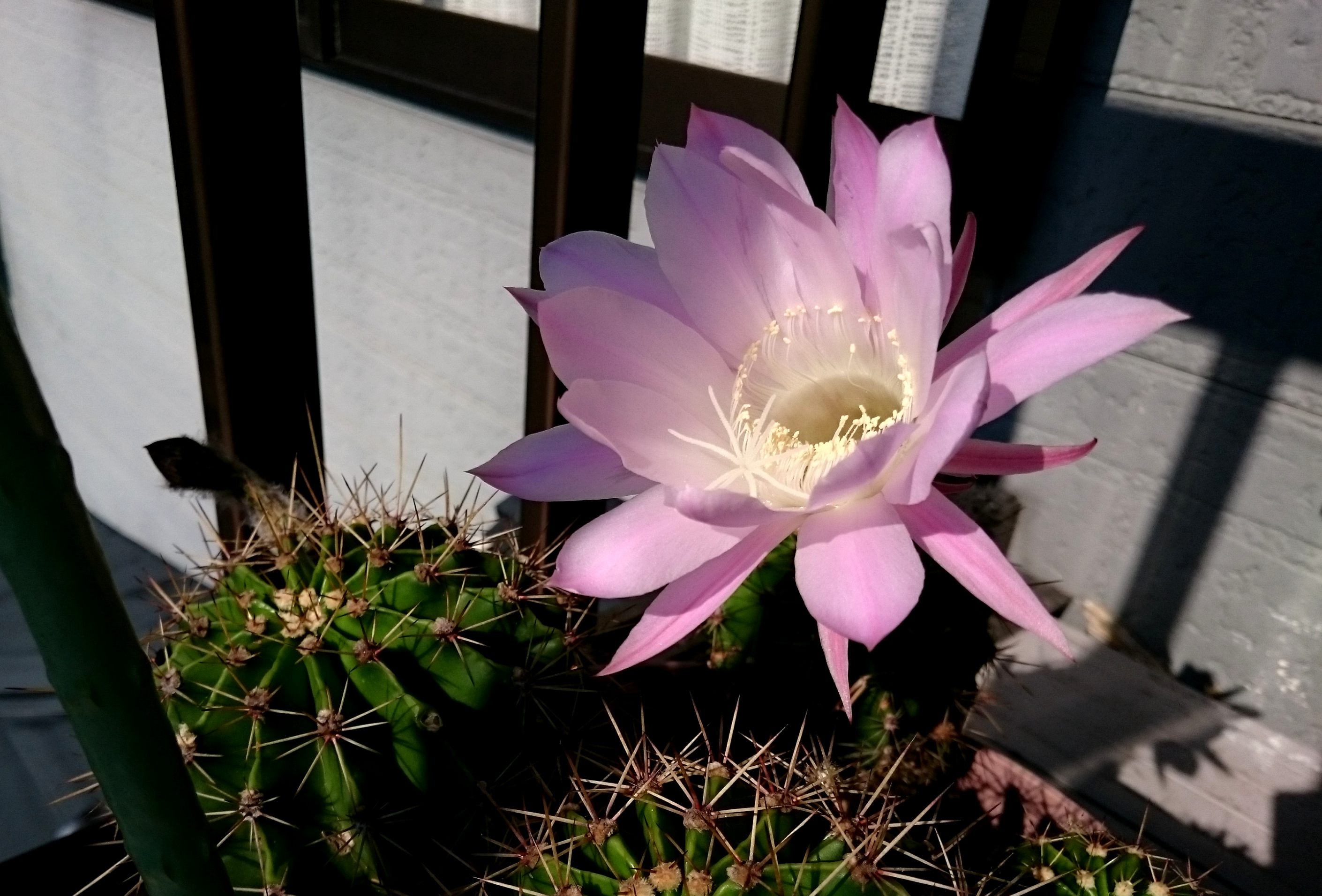 20160618-CactusFlower-X02.jpg