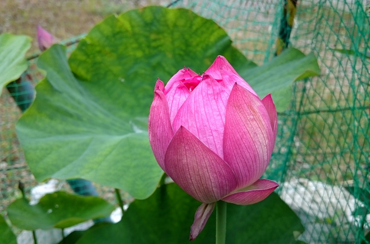 20160629-Lotus_Yaechawanbasu-X01.jpg