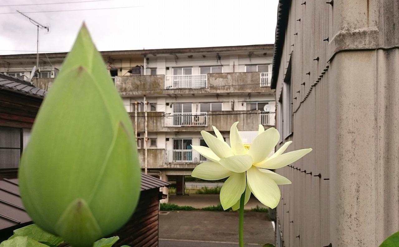 20160630-Lotus_Kougyokuhai-X07.jpg