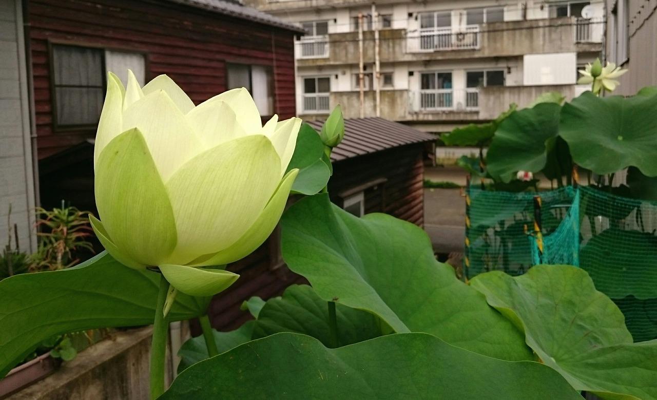 20160630-Lotus_Kougyokuhai02-E01.jpg