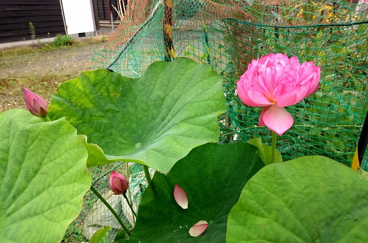 20160630-Lotus_Yaechawanbasu-X01.jpg