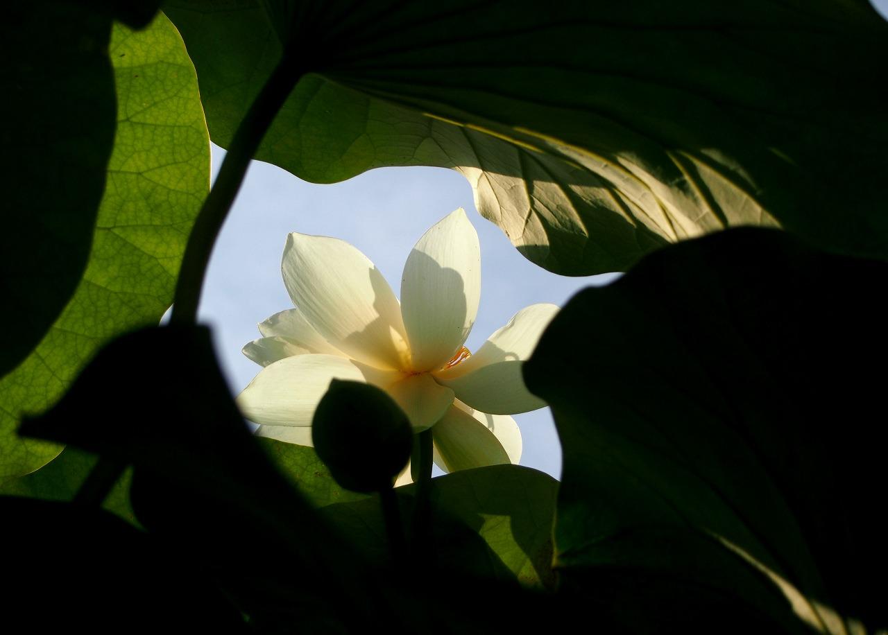 20160701-Lotus_Kougyokuhai02-O01.jpg